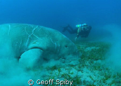watching a dugong grazing on seagrass by Geoff Spiby 